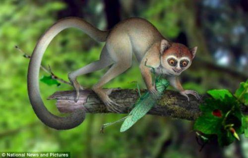 侏儒鼠狐猴是当前世界上最小的灵长类动物