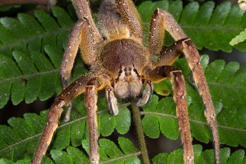 盘点世界上最致命的三个蜘蛛物种(图)