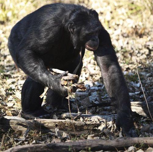 世界最聪明黑猩猩掌握3000词汇