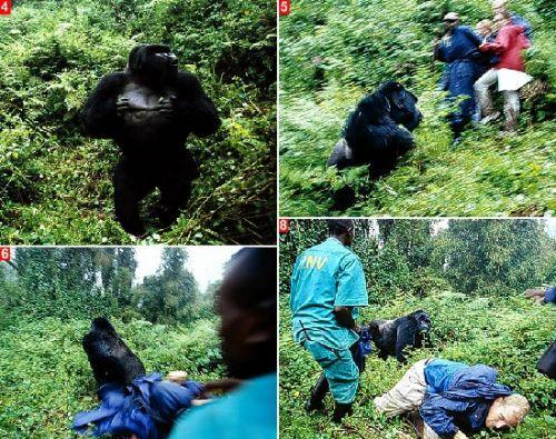 大猩猩,这只体重约有200公斤