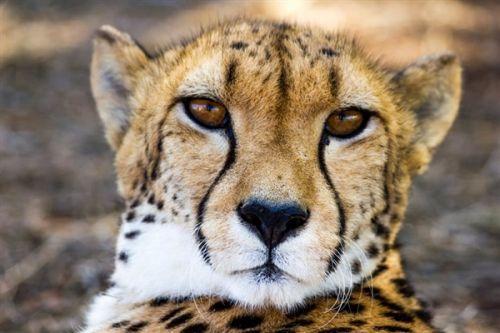 研究发现猎豹惊人的狩猎能力源于其独特的内耳设计0