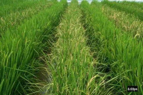 中国转基因大米获美国食用许可 但在国内产业化种植成难题0