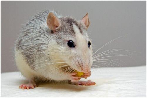 研究人员使用纳米机器人来杀死老鼠体内的肿瘤0