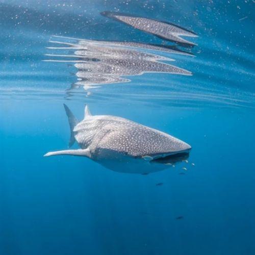 太震撼了 摄影师用强迫透视法拍摄的海底鲸鲨5