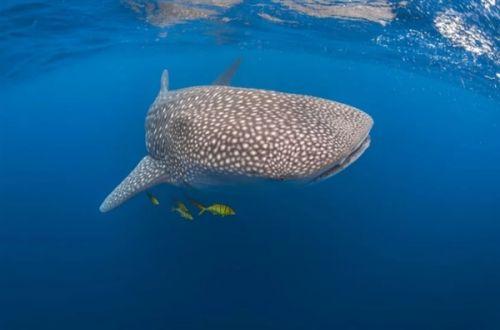 太震撼了 摄影师用强迫透视法拍摄的海底鲸鲨3
