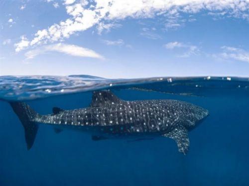 太震撼了 摄影师用强迫透视法拍摄的海底鲸鲨4