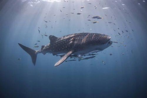 太震撼了 摄影师用强迫透视法拍摄的海底鲸鲨8