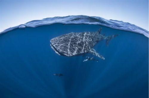 太震撼了 摄影师用强迫透视法拍摄的海底鲸鲨1
