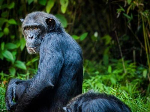 科学家表示 黑猩猩巢比人的床更干净0